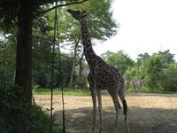 八木山 動物園 キリンさん。昼飯物色中。