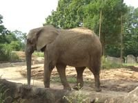 アフリカゾウさん。ぐるぐるお散歩中。下のインドゾウさんと見分けがつきますか?