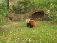 レッサーパンダさん。子供たちの人気者。お食事中失礼します。