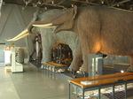 自然史系展示 : 相当デカイです、センダイゾウなど7種のゾウなどの標本など。